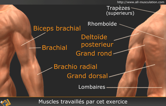 Muscles ciblés par le Rowing horizontal barre supination