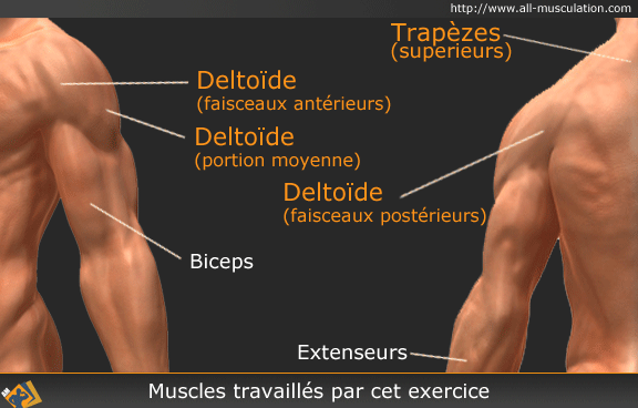 Muscles ciblés par le Rowing vertical barre