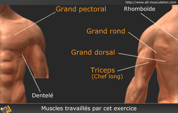 Muscles ciblés par le pull-over