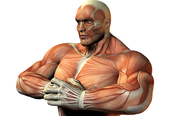 Muscle et musculation